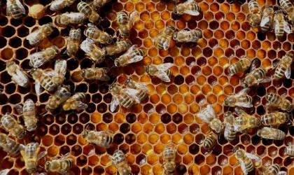 14 饥饿的蜜蜂失去自我控制