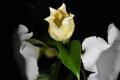 清明花,原产滇南的藤本植物,国家重点保护植物。清明花大而洁白,极为精美。园艺上运用不多,但在植物园已非常成功。