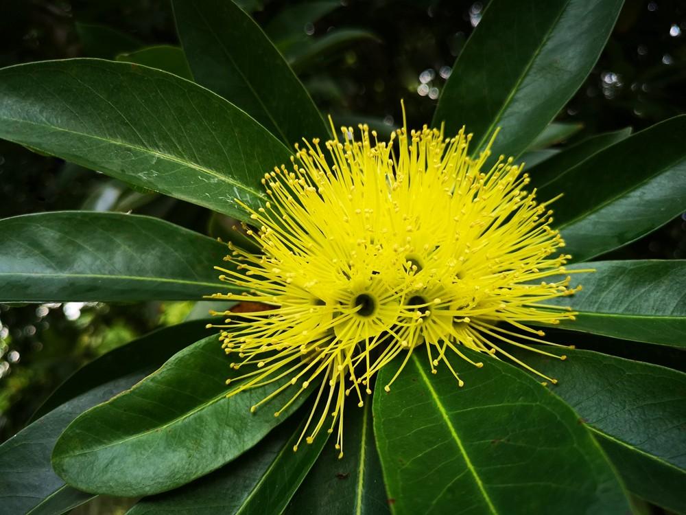 黄金蒲桃Xanthostemon chrysanthus_副本